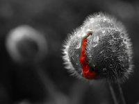 B&W Poppies